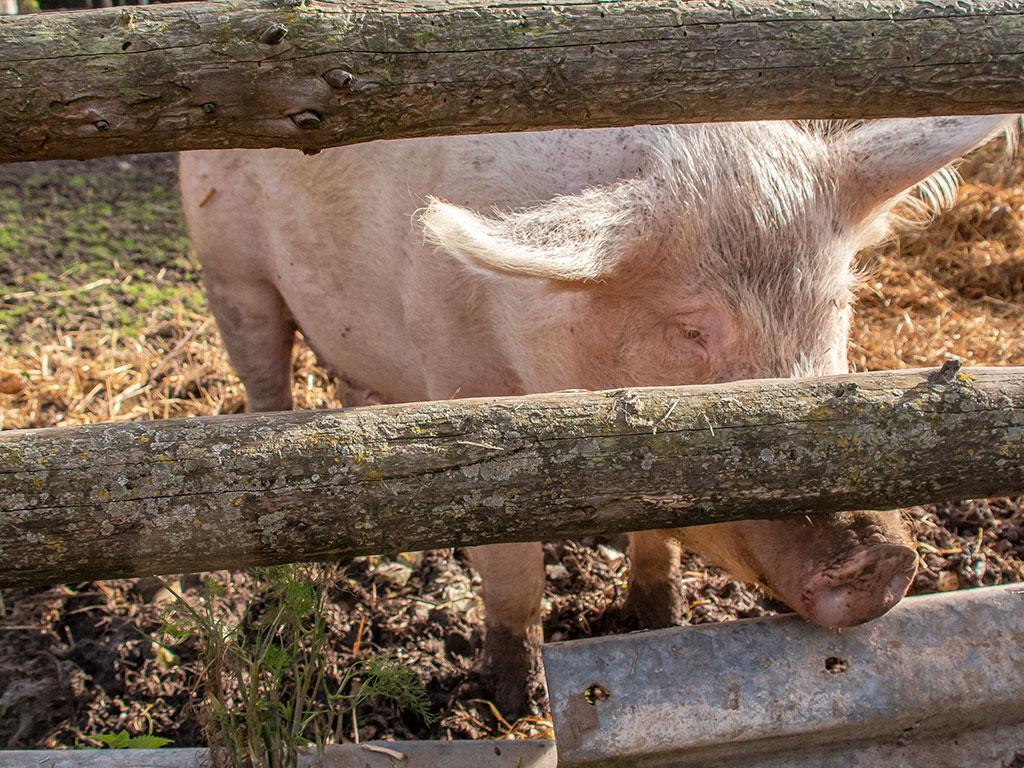 Schwein Erna